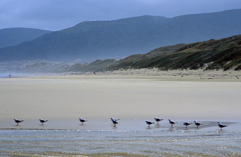Red Billed Gulls, Duck Creek, Mason Bay