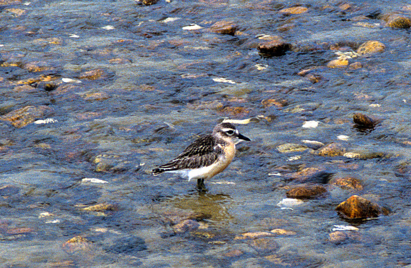 New Zealand dotterel (Charadrius obscurus), Mason Bay