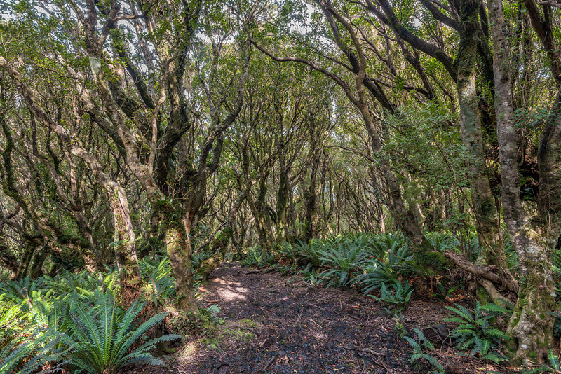 Rata forest on the northern coast, between Yankee River and Smoky Beach