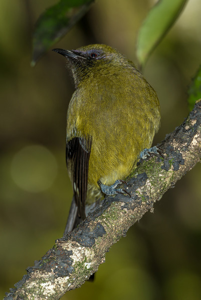 Bellbird / korimako (Anthornis melanura), Hellfire Ridge