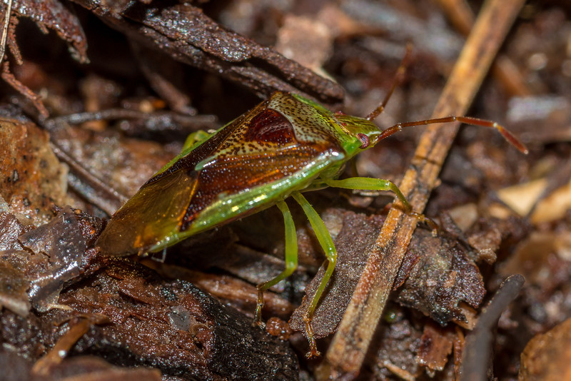 Forest shield bug (Oncacontias vittatus). Hellfire Ridge, Rakiura.