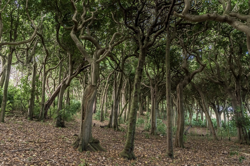 Coastal forest in Henga Scenic Reserve. Chatham Island.