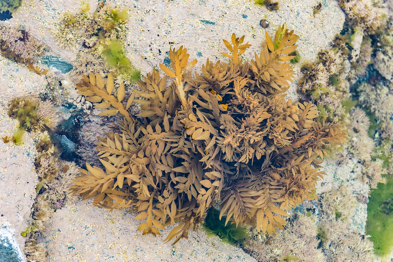 Common flapjack (Carpophyllum maschalocarpum). Ohira Bay, Chatham Island.