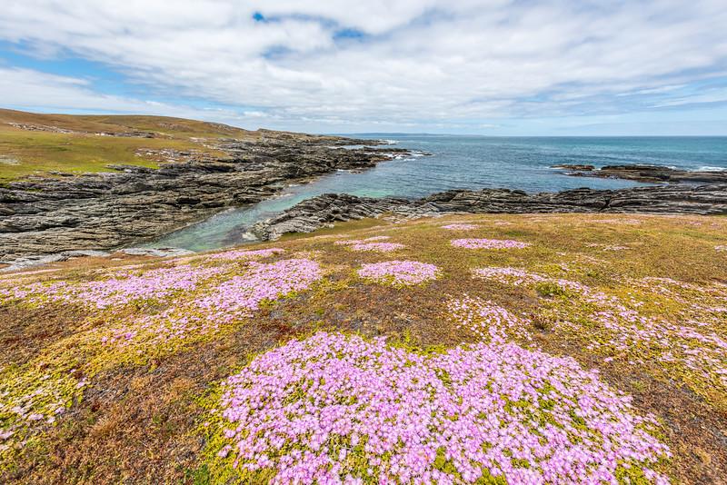 Chatham Island ice plant (Disphyma papillatum). Coastline between Ohira Bay and Long Beach, Chatham Island.