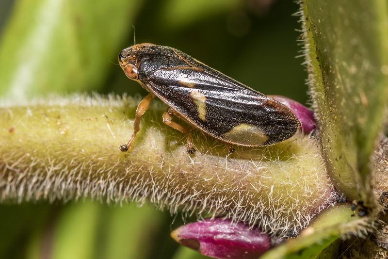Spittlebug (Carystoterpa tristis) on Dieffenbach's koromiko (Veronica dieffenbachii). Rangaika Scenic Reserve, Chatham Island.
