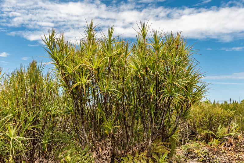 Chatham Island grass tree / tarahinau (Dracophyllum arboreum). Rangaika Scenic Reserve, Chatham Island.