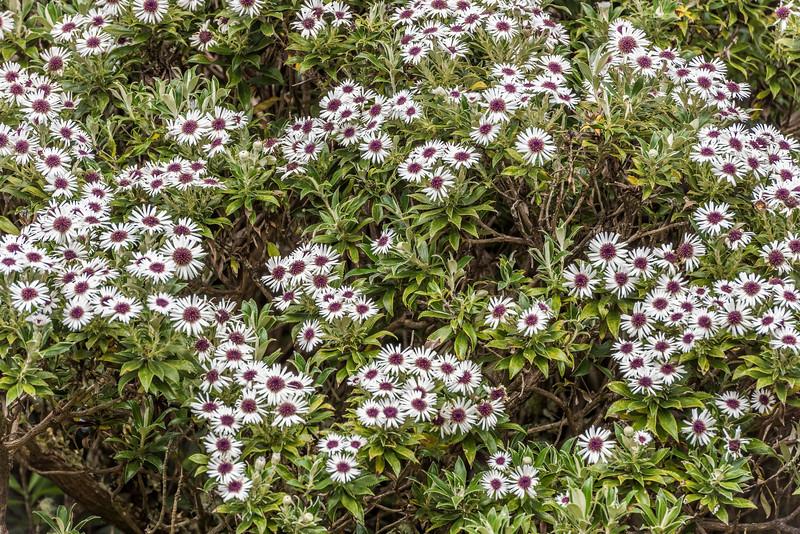Kereterehe (Olearia chathamica). Rangaika Scenic Reserve, Chatham Island.