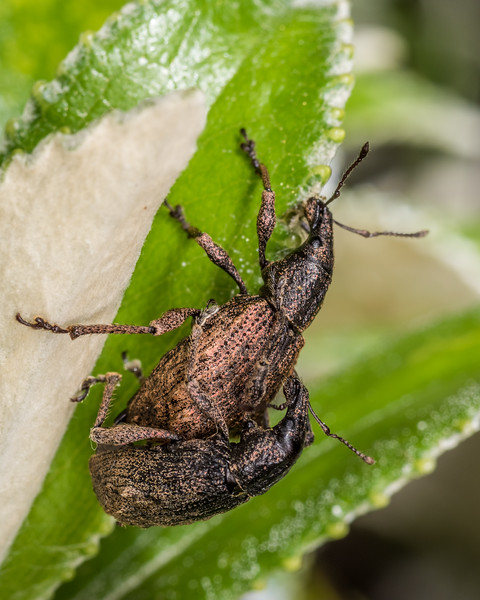 Weevils (Catoptes brevicornis) mating on Olearia chathamica leaves. Rangaika Scenic Reserve, Chatham Island.