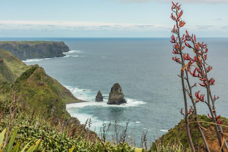 Flax / harakeke (Phormium tenax) on the coast  at Rangaika, Chatham Island.