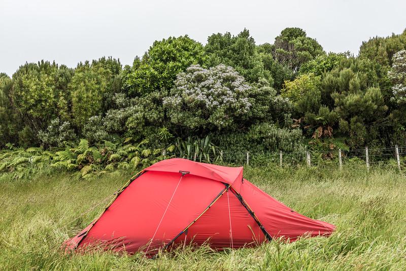 Campsite under flowering kereterehe (Olearia chathamica). Rangaika Scenic Reserve, Chatham Island.