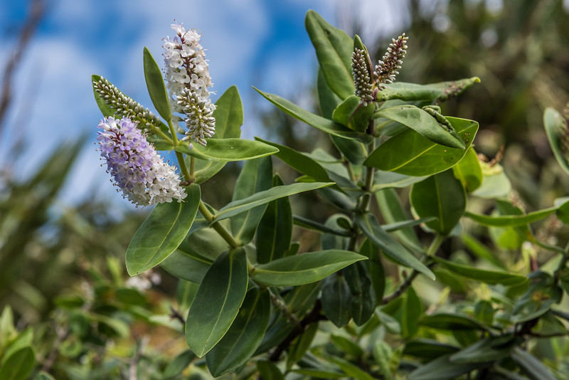 Dieffenbach's koromiko (Veronica dieffenbachii). Rangaika Scenic Reserve, Chatham Island.