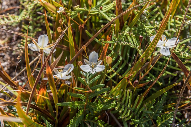 New Zealand iris / mīkoikoi (Libertia peregrinans). Rangaika Scenic Reserve, Chatham Island.