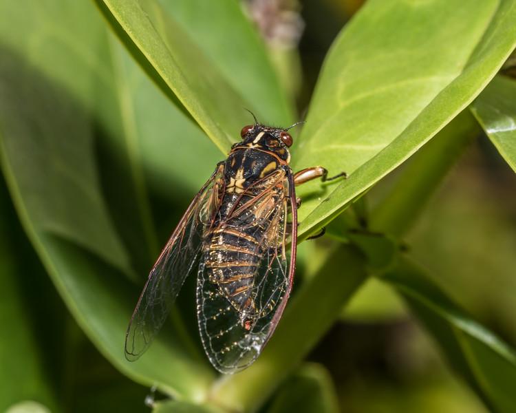 Chatham Island cicada (Kikihia longula) on Dieffenbach's koromiko (Veronica dieffenbachii). Rangaika Scenic Reserve, Chatham Island.