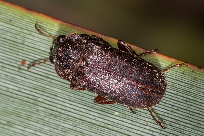 Stag beetle (Mitophyllus reflexus). Rangaika Scenic Reserve, Chatham Island.