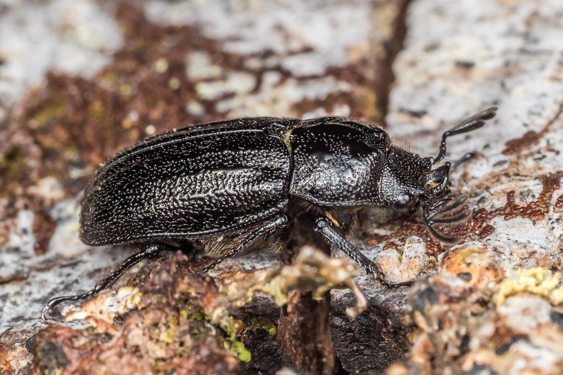 Stag beetle (Holloceratognathus helotoides) male. Green Point, Chatham Island.