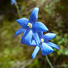 Thelymitra cinerea (sun orchid) near Rakeahua Hut