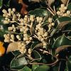 Muttonbird scrub (Brachyglottis rotundifolia). Big Bungaree Beach
