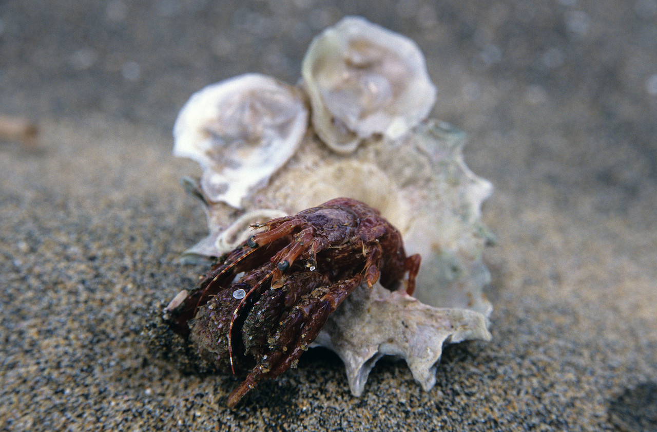 Hermit crab (Diacanthurus spinulimanus). Murray Beach, Rakiura / Stewart Island.