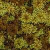 Umbrella moss (Hypopterygium rotulatum). Thomson Ridge, Stewart Island