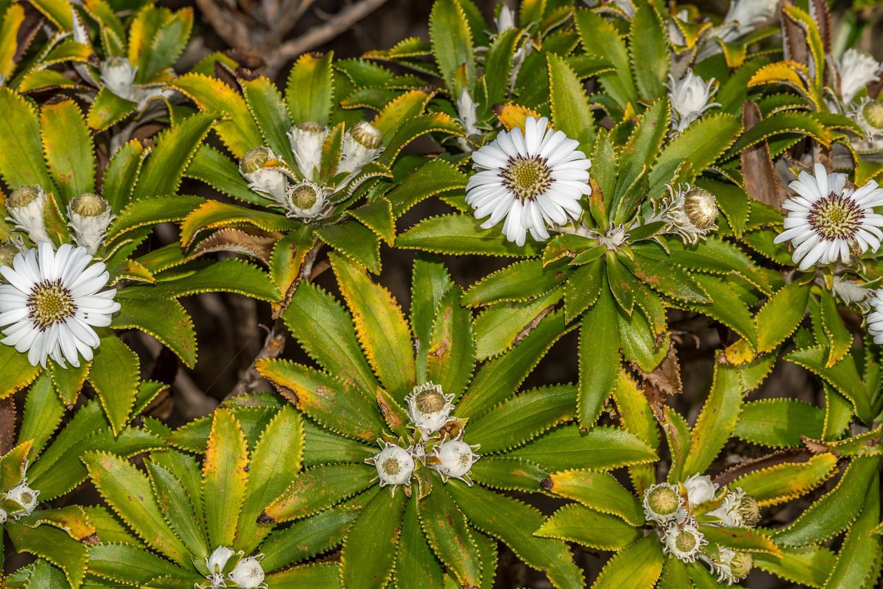 Olearia oporina / Tētēaweka. Waituna Bay, Stewart Island