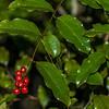 Supplejack / kareao (Ripogonum scandens). Yankee River, Stewart Island.