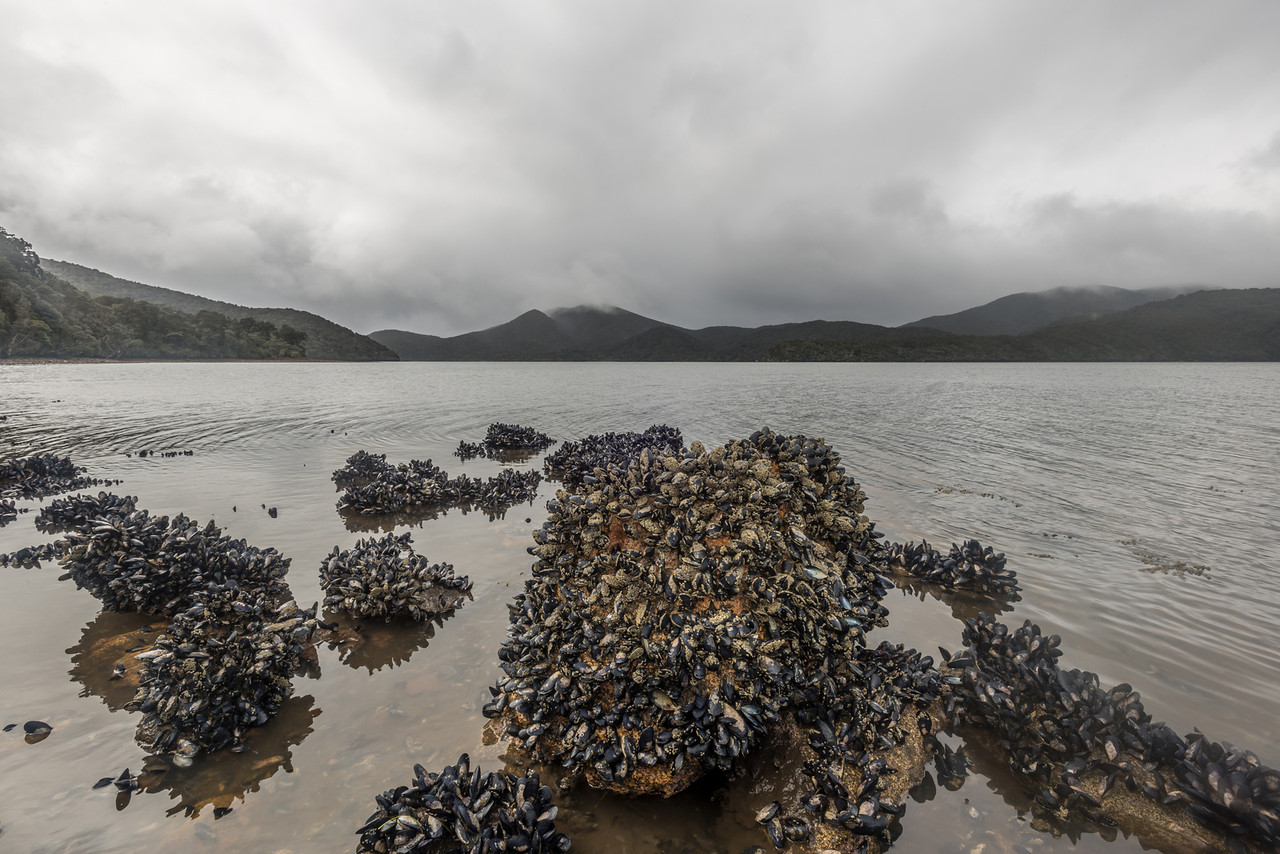 Mediterranean mussel (Mytilus galloprovincialis), Paterson Inlet South West Arm / Whaka a Te Wera.