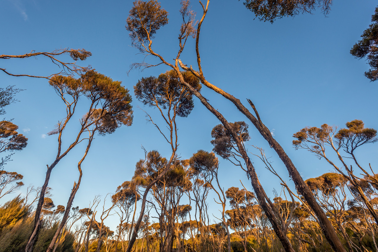 Manuka forest at sunset, Rakeahua River valley
