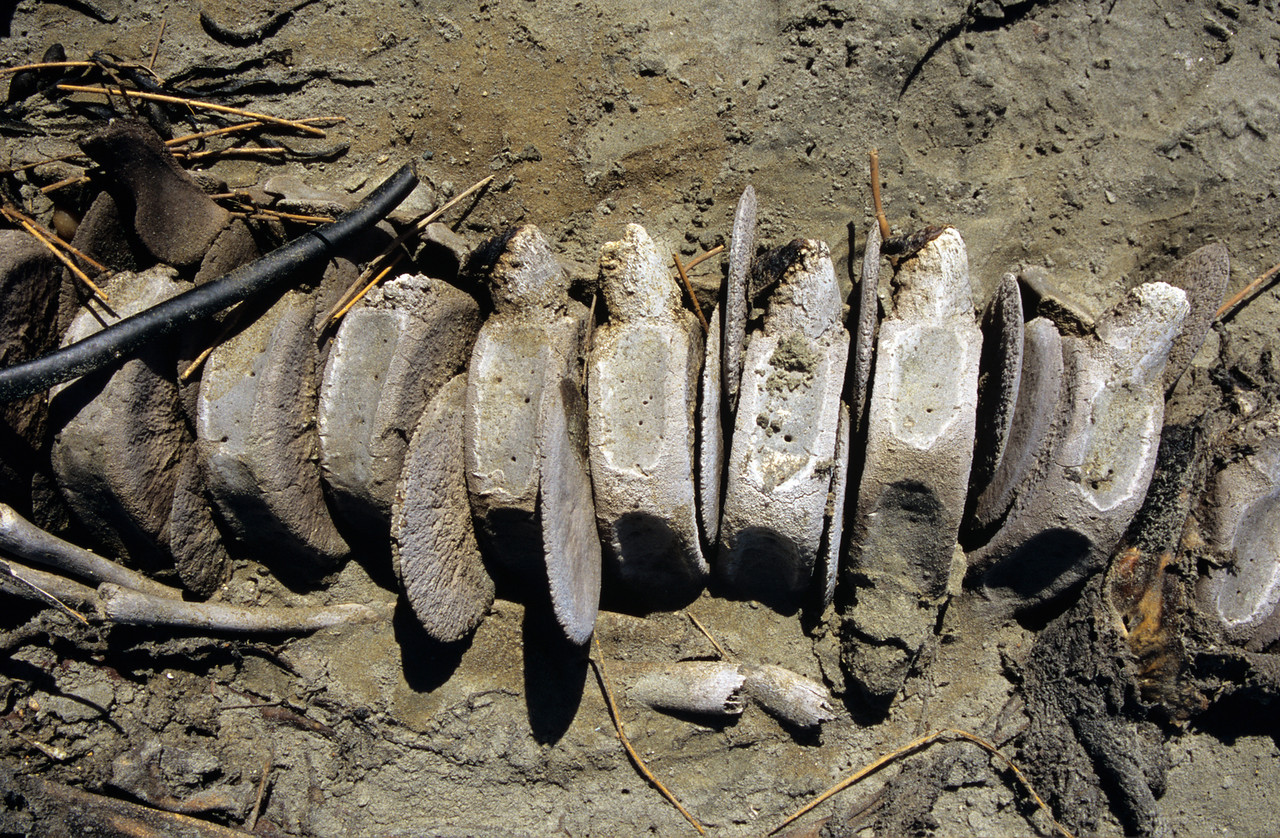 Humpback whale carcass, Mason Bay