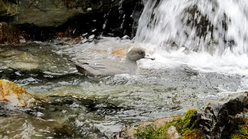 Blue Duck taking a shower below Harman Pass.