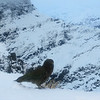 Kea in front of the east face of Fastness.
