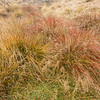 Red tussock.