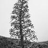 Aciphylla colensoi