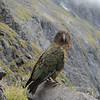 Kea on Gertrude Saddle.