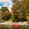 Around the shore to Worsley Arm with rata in full bloom.