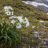 Snow marguerites near camp.