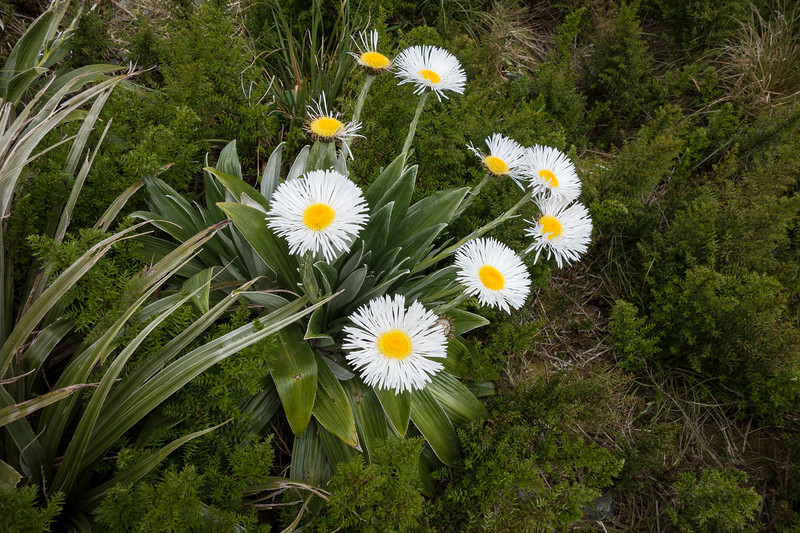 Huge Clemisias in the tussock basin below McCullaugh Pass.