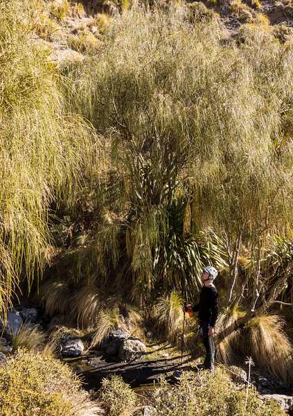 A little oasis of carmichaelia stevensonii (weeping broom) trees in the head of Snowgrass Stream.