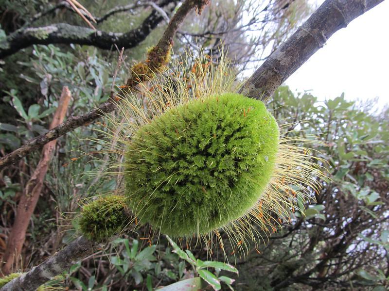 Moss ball.