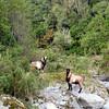 Goats in Rocky Creek.