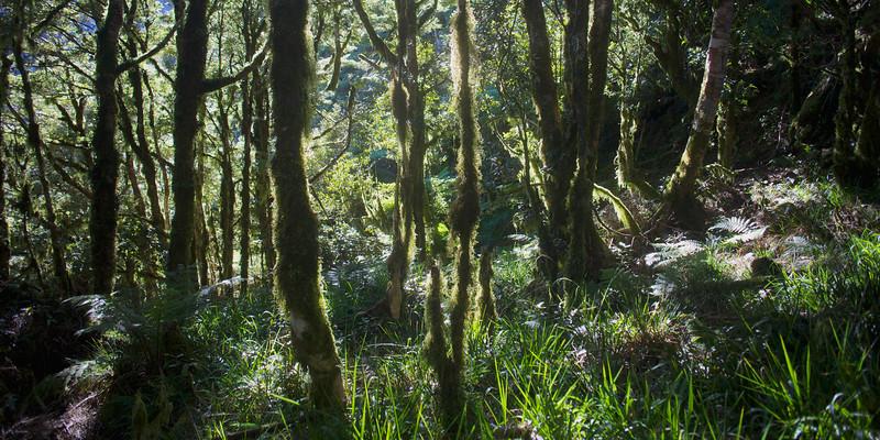 Sun streaming through the trees, Kapakapanui Track, Tararua Forest Park.