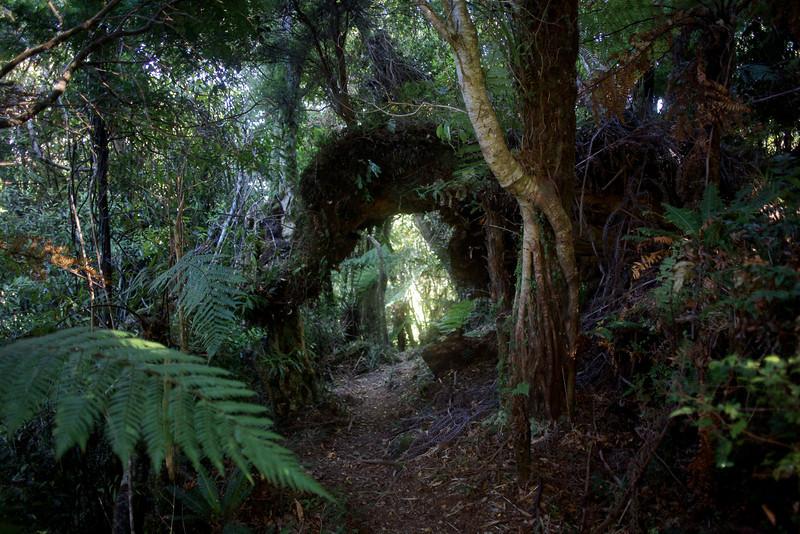 Tree arches on Kapakapanui Track Mar 2003