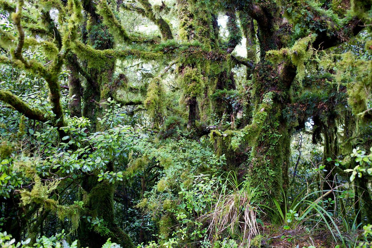 Lichen Laden Trees near Summit Mt Climie, Upper Hutt, New Zealand.