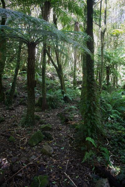 Ferns and Greenery on Norbett Creek Track