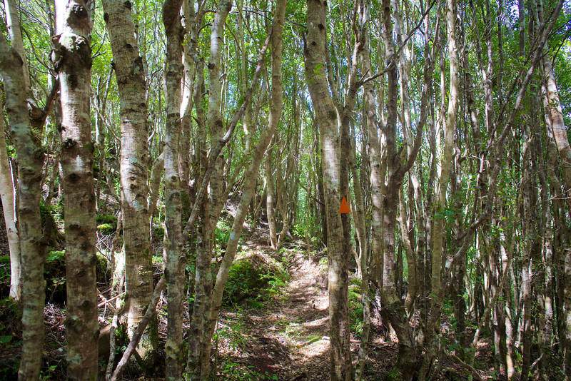 Squeezing through the Silver Birches on Norbett Creek Track Oct 2012