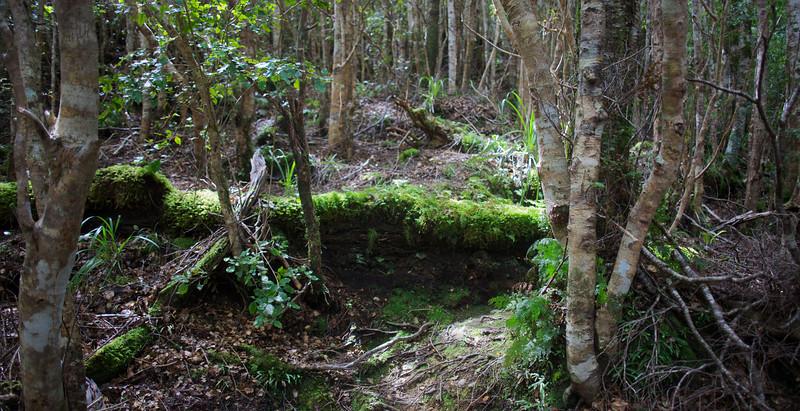 Mossy Tree Trunk Step Norbett Creek Track Oct 2012