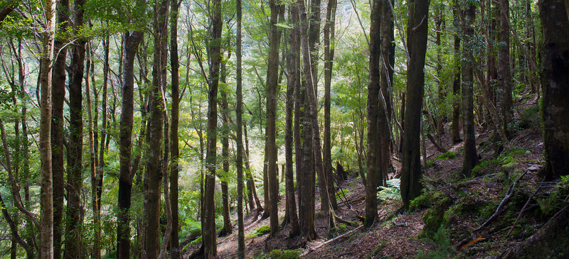 Vertical Trees on steep slopes of Norbett Creek Track (1)