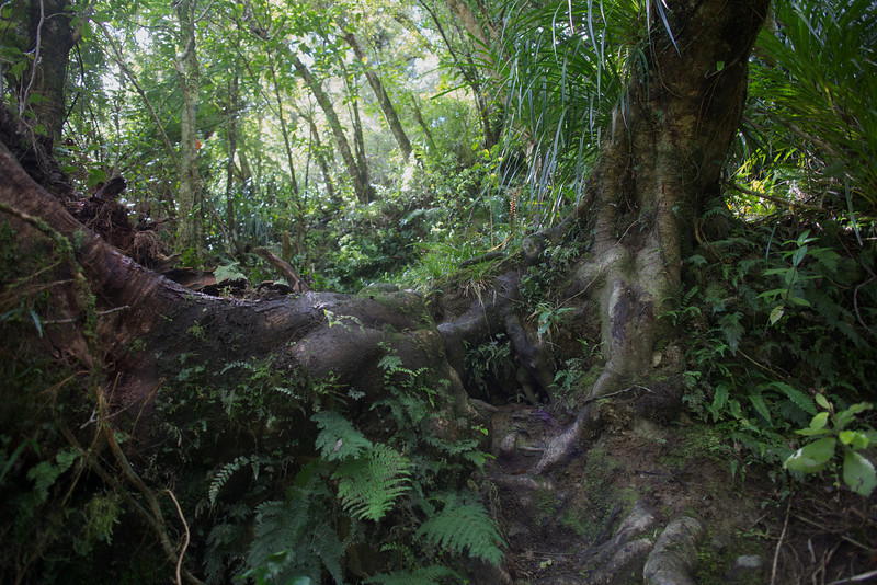 Steep up and over big Tree Roots Norbett Creek Track