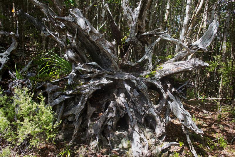 Old Tree Roots Norbett Creek Track Oct 2012