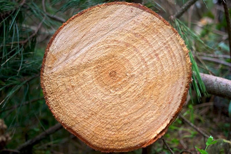 Freshly felled pine tree St Patricks Block, Upper Hutt