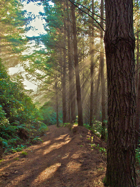 Rays of light shining through Pine Trees on the 4WD Track that is descending after ascending the Pylon Track (Keith George Memorial Park.)